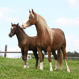 Brown mare with long mane standing with foal Stock Photos