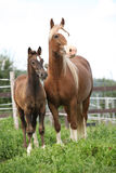 Brown mare with long mane standing and the foal Stock Image