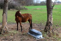 Brown mare in the meadow royalty free stock images