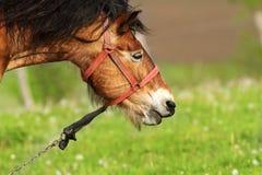 Brown mare portrait Stock Photo