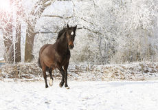 Brown mare in snow Stock Images