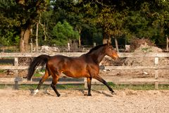 Brown mare walking free royalty free stock image