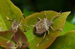 Brown marmorated el insecto del hedor y x28; Halys& x29 de Halyomorpha; imagen de archivo