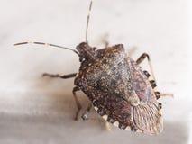 Brown marmorated l'animale dell'insetto dell'insetto di puzzo immagini stock libere da diritti