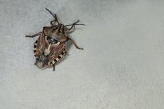 Brown Marmorated smrodu pluskwa Halyomorpha Halys Na prostym tle z copyspace, na szarym tle zamkniętym w górę Insekty są mali fotografia stock