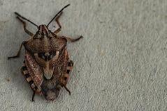 Brown Marmorated smrodu pluskwa Halyomorpha Halys Na prostym tle z copyspace, na szarym tle zamkniętym w górę Insekty są mali zdjęcia stock