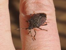 Free Brown Marmorated Stink Bug Royalty Free Stock Photos - 172556928