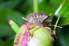 Brown marmorated stink bug Royalty Free Stock Photos