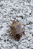 Brown Marmorated stink bug Royalty Free Stock Photo