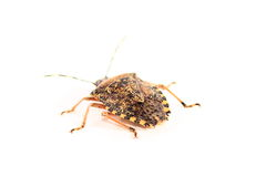 Brown Marmorated Stink Bug Stock Image