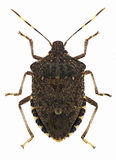 Brown marmorated stink bug Halyomorpha halys, a pest from Asia Stock Images