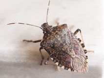 Brown marmorated stink bug insect animal Royalty Free Stock Images