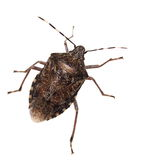 Brown Marmorated Stink Bug isolated on white Royalty Free Stock Photo