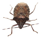 Brown Marmorated Stink Bug isolated on white Stock Photography