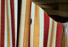 Stink bug on curtain drape. Brown marmorated stink shield bug climbs up striped curtain panel.  Profile of thin hardened carapace in shape of shield is visible stock images