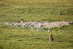 Brown marmot in mountains Stock Image
