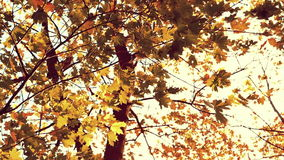 Brown marple leaves in autumn, sepia tone stock footage