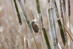 Brown Marsh Wren imagen de archivo