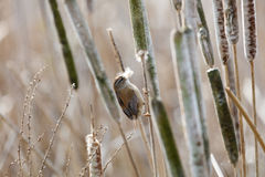 Brown Marsh Wren. Marsh Wren gathering cattail down at Vancouver BC Canada stock image