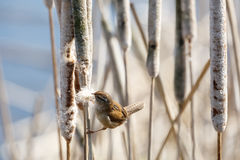Brown Marsh Wren. Marsh Wren gathering cattail down at Vancouver BC Canada stock photography