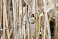 Brown Marsh Wren Stock Photography