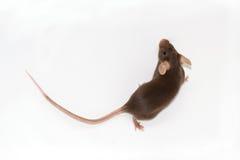Brown-Maus auf einem weißen Hintergrund Stockfotografie