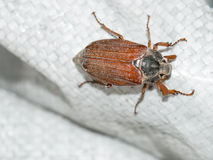 Brown may-bug beetle Stock Images