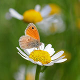 Brown meadow butterfly on a daisy flower Royalty Free Stock Images