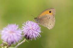 Brown meadow (Maniola jurtina) feeding on Thistle flowers Royalty Free Stock Photography