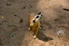 Brown Meerkat sulla sabbia fine dall'Africa Fotografia Stock Libera da Diritti