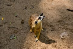 Brown Meerkat sur le sable fin d'Afrique Photo libre de droits