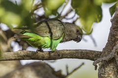Brown (Meyer's) Parrot Royalty Free Stock Photography