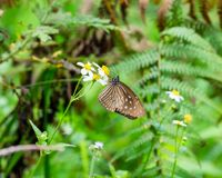 Brown mienia mrowia pollen Motyli kwiat Obrazy Stock