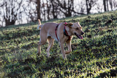 Brown mieszał psa fotografia royalty free