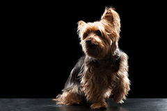 Brown mignon Yorkie Mutt Playing soyeux Image libre de droits