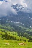 Brown-Milchkuh in einer Wiese des Grases und der Wildflowers in den Alpen Lizenzfreie Stockfotografie