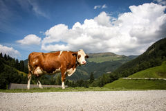 Brown milk cow in the alp mountains Stock Images