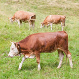 Brown milk cow in a meadow of grass Royalty Free Stock Photography