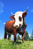 Brown milk cow Royalty Free Stock Image
