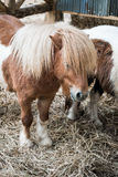 Brown miniature horse with long hair Royalty Free Stock Image