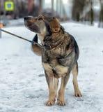 Brown mit grauem nicht reinrassigem Hund Stockfotos