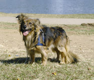 Brown mixed breed dog 2 Royalty Free Stock Image