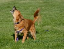 Brown mixed breed dog barking. Impatient sassy brown mixed breed dog barking in excitement to get owner to play Royalty Free Stock Photo