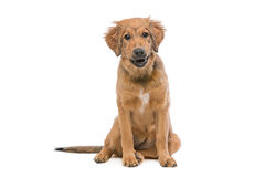 Brown mixed breed puppy Royalty Free Stock Photography