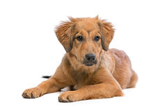 Brown mixed breed puppy Royalty Free Stock Images