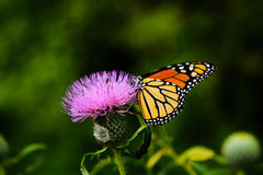 Brown Monarch Butterfly on Purple Flower in Shallow Focus Lens Royalty Free Stock Photo