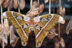 Brown Monarchiczny motyl siedzi w ogródzie botanicznym Montreal Zdjęcia Royalty Free