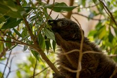 Mongoose lemur feeding in a tree close up. A brown mongoose lemur feeding in a tree, close up shot Stock Image