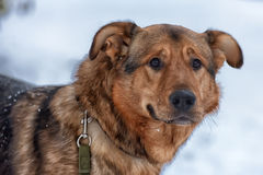 Brown mongrel dog on a leash Stock Images