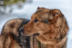 Brown mongrel dog on a leash Royalty Free Stock Photo